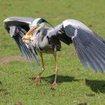 Rijger of andere wilde vogels