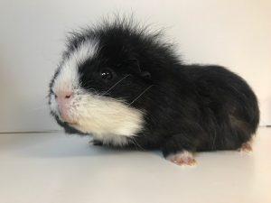 Fudge Nog vrij om te adopteren met Bean
