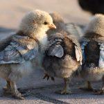 Kippen Kinderboerderij De Vechtse Hoeve